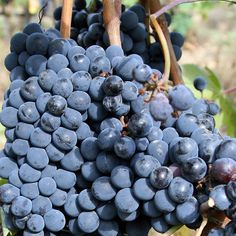A Tuscan Winery Tour at Captivating Castello Banfi in Montalcino Italy Montalcino Italy, Italy In September, Happy Wine, Chianti Wine, Wine Tourism, Wine Making, Fine Wine, Wine Country, Italia