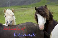 Animals of Iceland - A Personal Photo Essay - Reflections Enroute