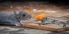 I Like to Enjoy Cheese, Who Cares About Mousetrap