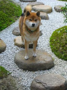 shiba Japanese Dog Breeds, Japanese Spitz, Japanese Dogs, Cute Dog Photos, Puppy Pictures, Chien Shiba Inu, Shibu Inu, Cute Puppies, Cute Dogs