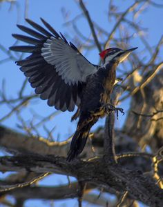 Pileated Woodpecker - the largest woodpeckers steer clear of the feeder, but find all the insects living in the rotting Ash trees.