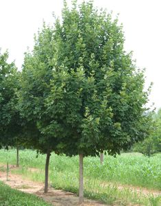Good tree to plant in spring: Legacy Sugar Maple