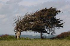 Typiquement un arbre sur les côtes de l'île d'Oléron, on comprend tout de suite que le vent ne rigole pas là bas :-) #Vent #arbre