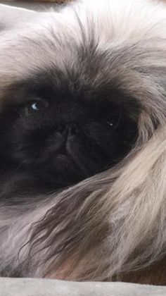 Just a lazy snow day on the couch! Cute Puppies, Cute Dogs, Dogs And Puppies, Doggies, Beautiful Dog Pictures, Beautiful Dogs, Fu Dog, Dog Cat, Pekingese Puppies