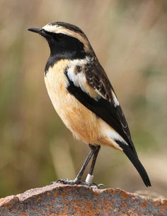 Buff-streaked Chat, Campicoloides bifasciatus, Old World flycatcher. Lesotho/ South Africa/ Swaziland