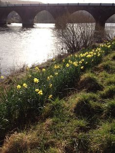 Perth Scotland Spring Daffodils by the River tay