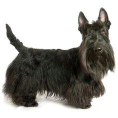 Scottish terrier: características, fotos y vídeos - ExpertoAnimal