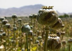 Even More Photos of US/NATO Troops Patrolling Opium Poppy Fields in Afghanistan What Is Red, Red Light Therapy, Military Pictures, In Ancient Times, Science And Nature, Afghanistan, More Photos, Flowers