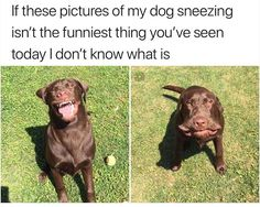– Here's a picture of a dog sneezing. - The best funny pictures and videos Cute Dog Memes, Funny Animal Memes, Cute Funny Animals, Funny Cute, Funny Dogs, Cute Dogs, Funny Memes, Funny Stuff, Dog Humor