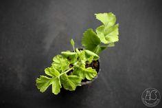 Oravankesäpesä | Pelargonium gibbosum luonnonlaji
