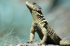 armadillo lizard - Google-søk