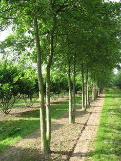 Quercus palustris. Дуб болотный.