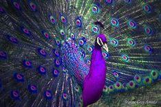 purple+peacock   Preening Purple Peacock Photograph