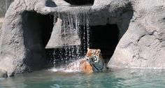 tigers lions - Google Search
