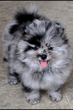 Blue Merle Pomeranian  love this coloring  so nice Dogs Puppy Hound Pups Dog Puppies
