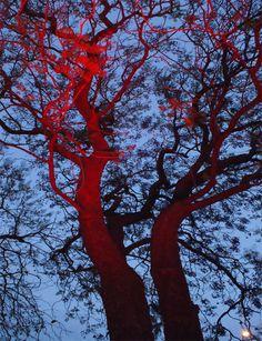 Árbol rojo cielo azul