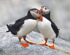 A pair of adult Atlantic Puffins on the breeding grounds, in courtship - Bay of Fundy