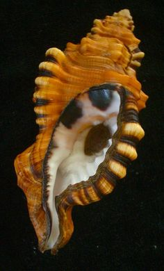 seashell Cymatium lotorium