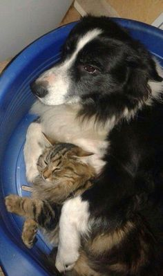 A beautiful Border Collie with his kitty..