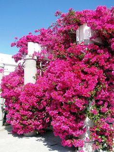 Pink bougainvillea- I love hot pink Bougainvillea!