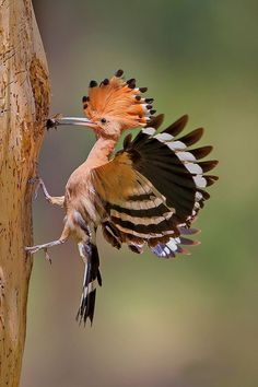 Most Beautiful Animals, Majestic Animals, Beautiful Birds, Beautiful Creatures, Nature Animals, Animals And Pets, Cute Animals, Hoopoe Bird, Weird Creatures