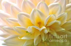 #RHYTHMIC PETALS - #DAHLIA by #Kaye #Menner #Photography Quality Prints Cards Products at: http://kaye-menner.pixels.com/featured/rythmic-petals-dahlia-kaye-menner.html