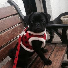 All about my Pugs: