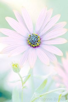 Pale Pink Daisy 16x20 Photo Art Print   ©Bonnie Bruno