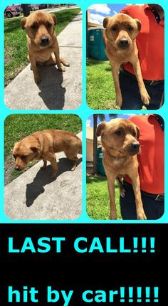 RAMBO (A1696423) HELP!!!!! Hit by car!!!!! URGENT!!!! Needs help NOW!!!! I am a male tan Labrador Retriever mix. The shelter staff think I am about 1 year old. I was found as a stray and I may be available for adoption on 05/09/2015. — hier: Miami Dade County Animal Services. https://www.facebook.com/urgentdogsofmiami/photos/pb.191859757515102.-2207520000.1430773178./972983442736059/?type=3&theater