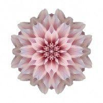 Pink Dahlia I (color, white)