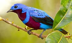 Banded cotinga (Cotinga maculata) is a shy, unobtrusive bird that dwells high in the forest canopy of a restricted area of Brazil.  EN