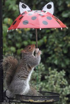 Staying dry: The cheeky rodent has got the hang of using the little child's umbrella holding it over the birds seed tray to keep it dry