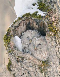 Ezo Fukuro japanese owls
