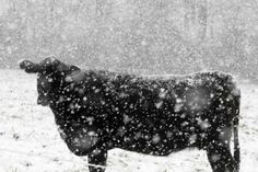 And a cow in the snow.  I just like it.