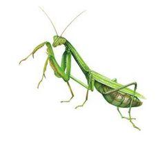 praying mantis - Bing Images