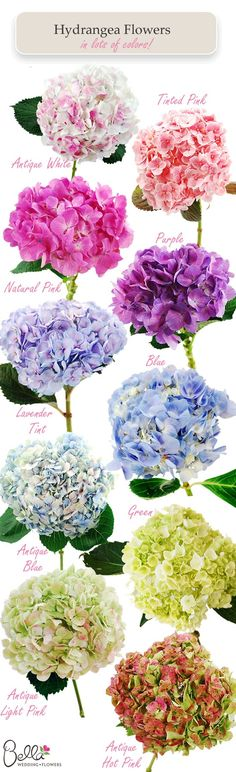 Hydrangea colors// my FAVORITE! I wish I would have had a summer wedding so I could have a bouquet of just hydrangeas! Hortensia Hydrangea, Hydrangea Colors, Hydrangea Plant, Purple Hydrangeas, Lavender Roses, Types Of Hydrangeas, Hydrangea Varieties, Hydrangea Bouquet, Green Hydrangea