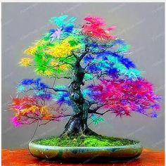 Image result for Blue Maple Bonsai