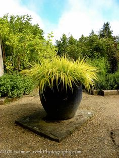 Hakonechloa Macra All Gold, excellent plant for shade, semi-shade areas.