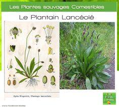 Plantes sauvages comestibles 12 plantes cuisiner - Comment cuisiner les bananes plantain ...