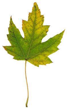 ba1969 | ... high quality stock images | Leaf 2 | ba1969 | October - 18 - 2011 (15