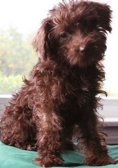 schnoodle - ....... I think Rigsby needs a sibling.