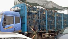 this is unreal:::  Miserable existence: Around 500 dogs are stuffed into this lorry in the most appalling conditions on their way to be slaughtered before being served up in restaurants