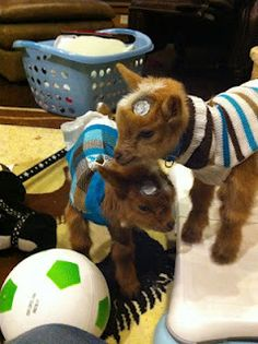 how to raise and look after a baby goat