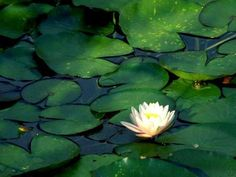 Lotus Flower In Lilly Pond Wallpaper