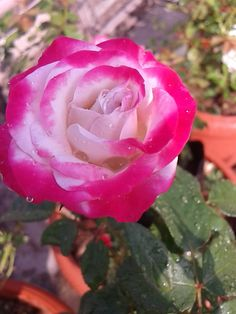 ROSE  FROM MY ROOF GARDEN