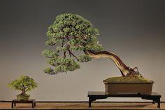 Ajánljuk: BONSAI FOTÓ? IGEN. BONSAI FOTÓ EGY BONSAI KIÁLLÍTÁSRÓL, http://kertinfo.hu/bonsai-foto-igen-bonsai-foto-egy-bonsai-kiallitasrol/, ezekben a témakörökben:  #Acerpalmatum #Beltérinövények #bonsai #bonsaiexhibition #bonsaifotók #bonsaiképek #bonsaikiallitas #bonsaistudio #bunjinbonsaistílus #cbabonsai #jihlava #juniperus #Kert #Kéziszerszámok #Konyhakertieszközök #marczikabonsaistudioérd, írta: Marczika Kertészet