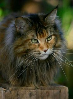 Tabby Cats Facts - Want to know how to keep a Maine Coon Growth Chart and are new to keeping a cat growth chart or size chart then read on to learn how to keep one Pretty Cats, Beautiful Cats, Kittens Cutest, Cats And Kittens, Tabby Cats, F2 Savannah Cat, Maine Coon Kittens, Serval, Photo Chat