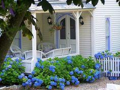 Blue hydrangea bushes