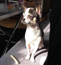 Clifford would like to wish everyone a great morning! featured via… #chihuahua