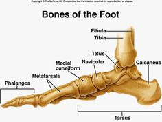 lateral-foot-bone-anatomy.png (640×480)